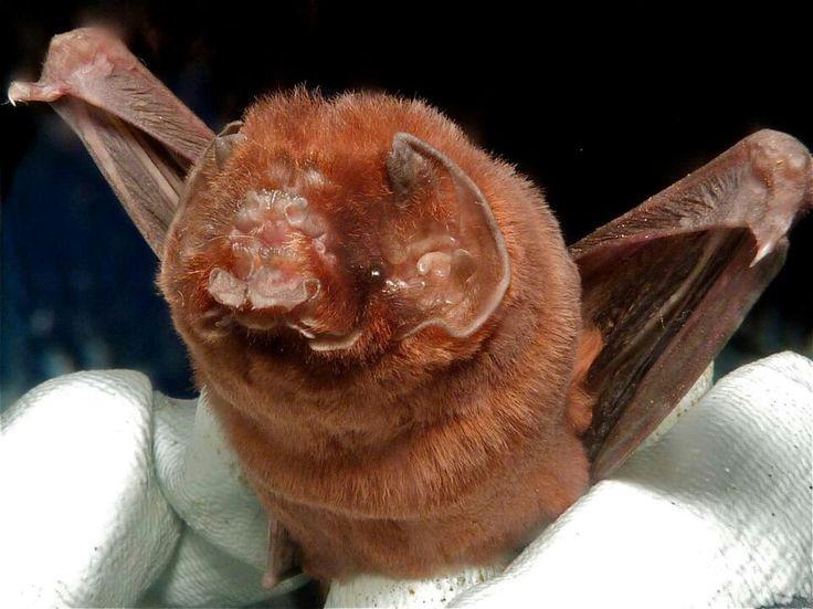 Ghost faced bat | Batty | Pinterest