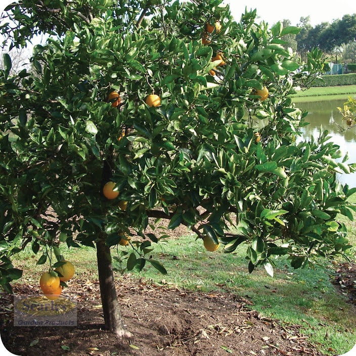 Good Fruit Trees For Backyard :  good drainage Read more about caring for fruit trees  Yard and