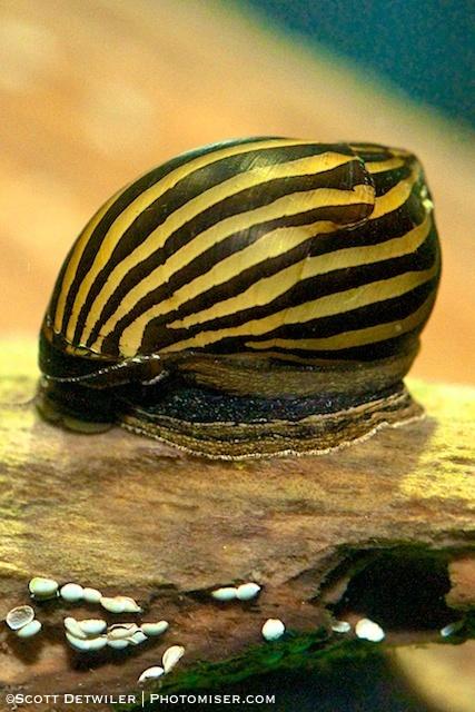 Zebra Nerite snail Aquarium Pinterest