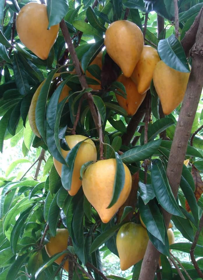 tropical fruit asian fruits