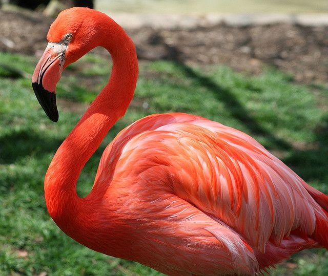 pink flamingo 1 birds - photo #15