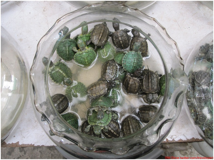 Turtles in Shanghai. They say a turtle as a pet brings good luck to ...
