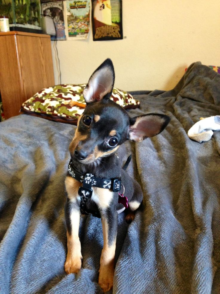 Chihuahua min pin mix #mine #loveher | Puppy Supplies | Pinterest