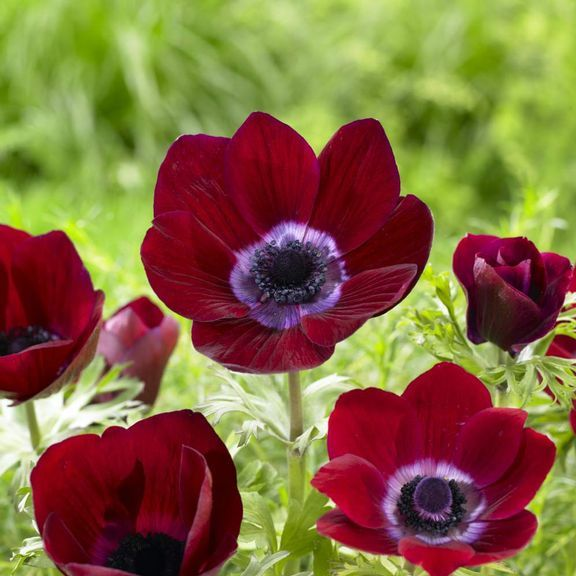 Anemone 'Bordeaux'. A fabulous anemone with deep red petals and a purple heart. The cupped flowers are beautifully shaped and flutter like poppies in the wind.