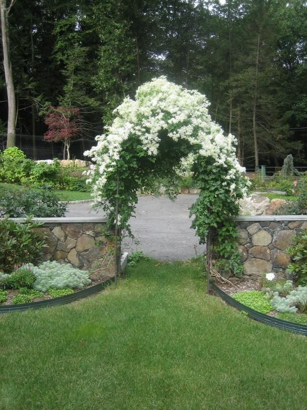 clematis paniculata - I have this growing on our new arch!  Can't wait for it to look like this....