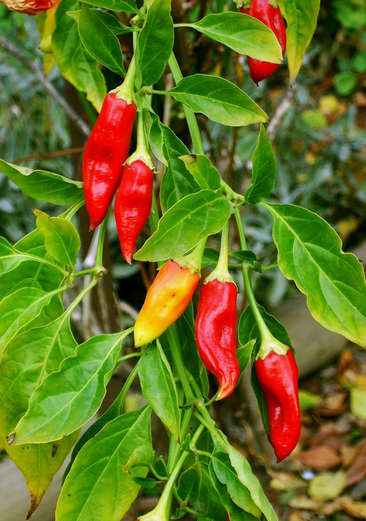 Cayenne Pepper Plant Gardening Ideas Pinterest