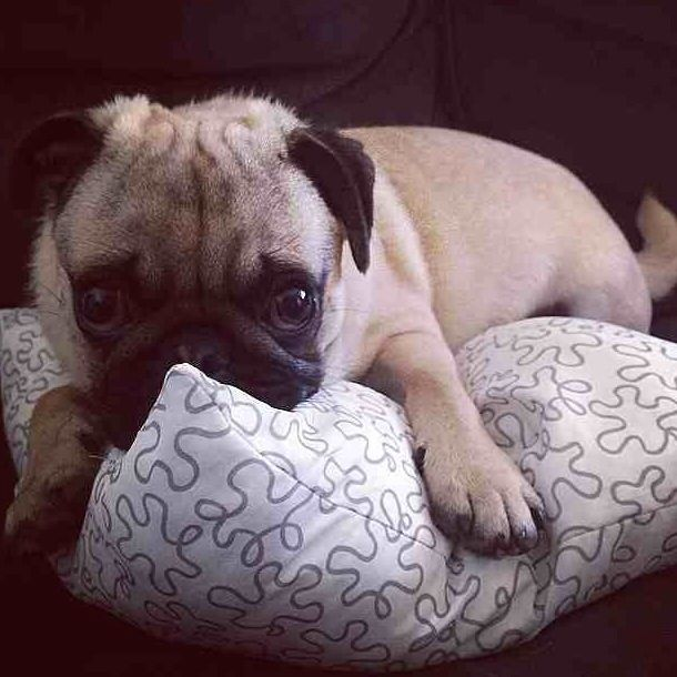 Super cute pug Pug