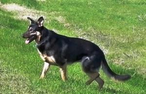 Maya is an adoptable German Shepherd Dog Dog in Sacramento, CA. 'Maya ...