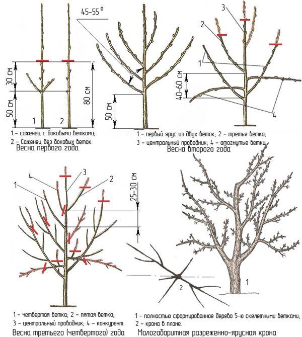 Уход и выращивание яблонь 43