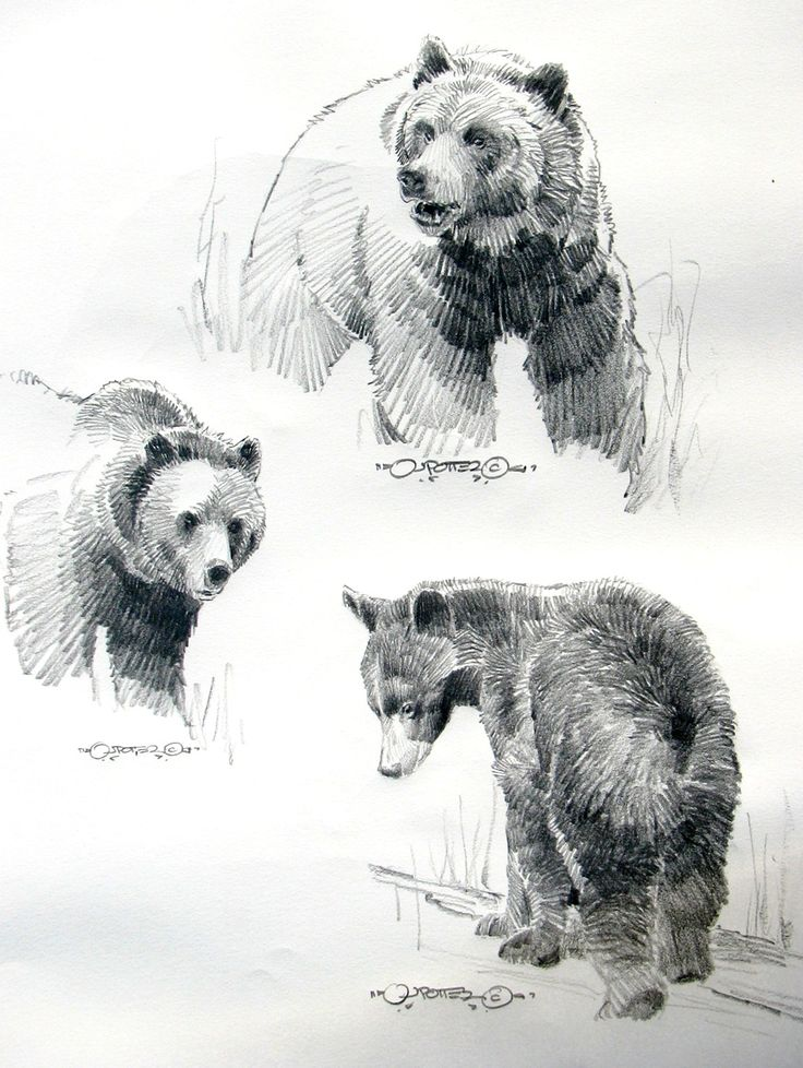Standing black bear drawing