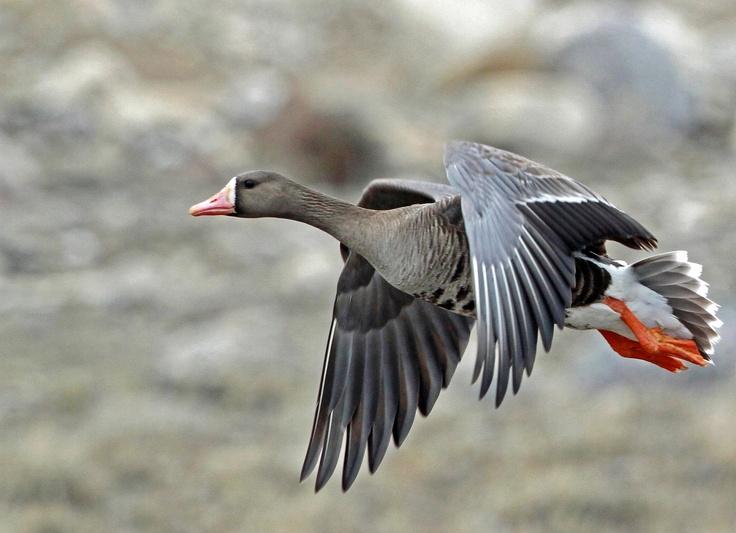 nunavut birds