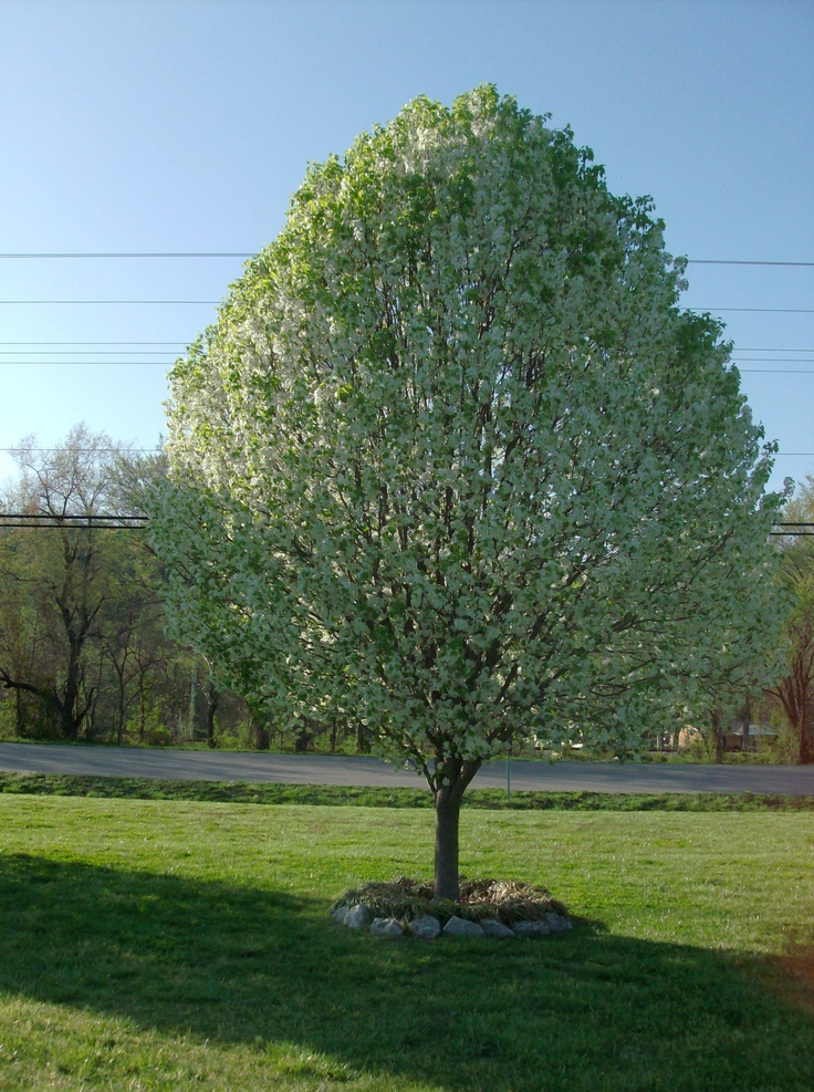 Bradford pear trees summer plants pinterest Bradford pear