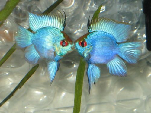 Live Electric Blue Ram Balloon 1 Fish Size Large