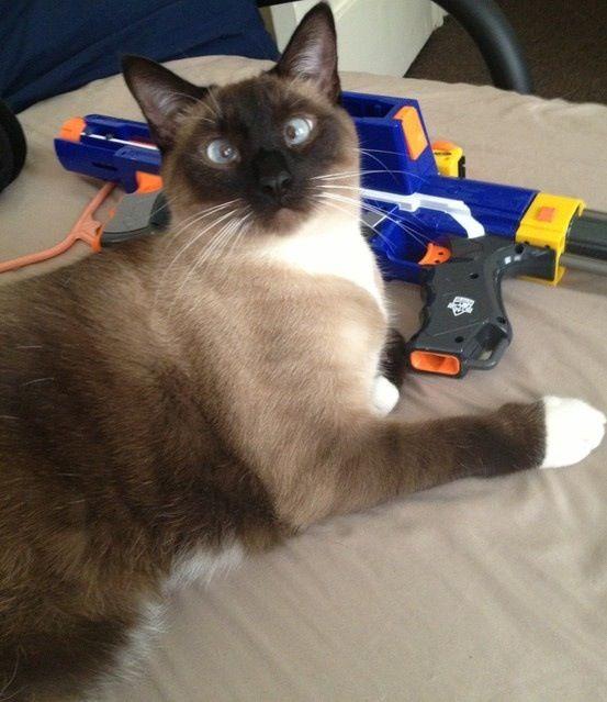 Cross Eyed Siamese Cat | Siamese cats | Pinterest