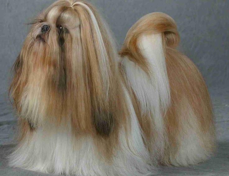 Chinese lion dog shih tzu - photo#8