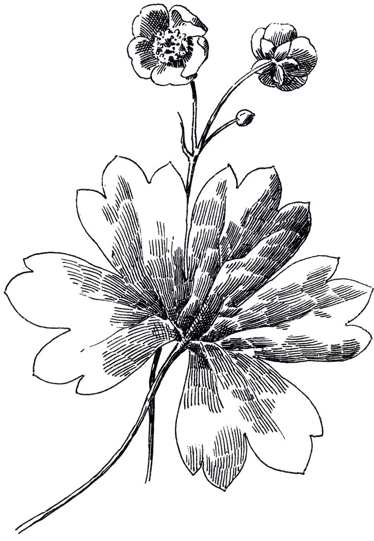 Buttercup flower images for Buttercup flower coloring pages