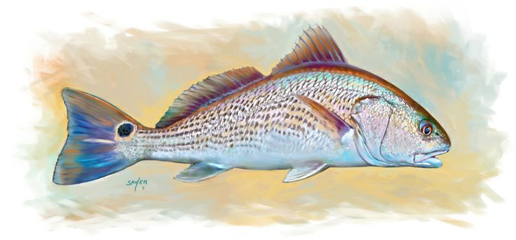Red drum game fish art print redfish illustration for Red saltwater fish