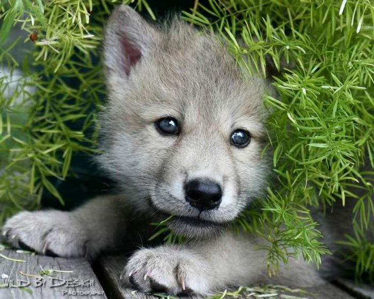 A cute wolf puppy!!!! | Wolves - 86.8KB