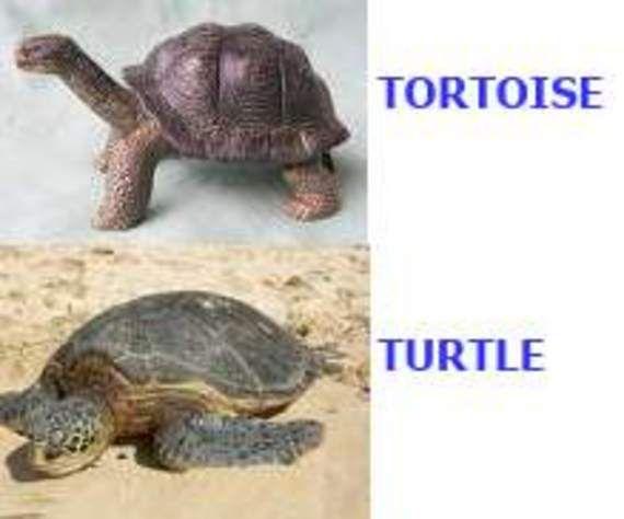 Pet peeve of mine. Turtles = swimmers. Tortoise = dry land animal.