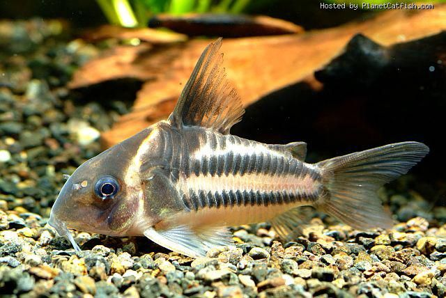 Corydoras bifasciatus Catfish and Loaches Pinterest