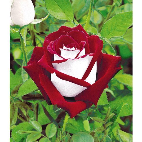 osira rose