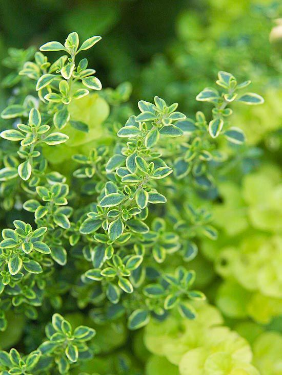Thyme  This Greek herb loves heat and sun and is a magnet for honeybees. The flavors of thyme are strongest when it grows in well-drained soil, so consider planting it in a raised bed or mulching with gravel.        Test Garden Tip: After plants bloom, shear off about a third of the stem.