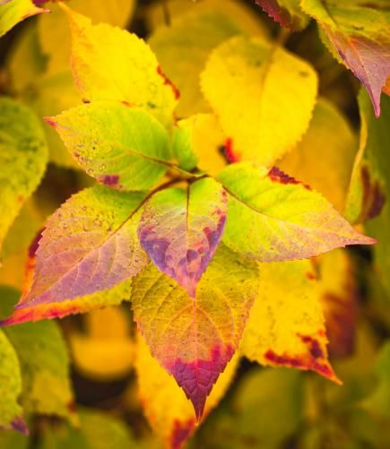Fall garden idea: Mophead Hydrangea - Red-tinged gold leaves and bold flowerheads characterize this plant's fall foliage.