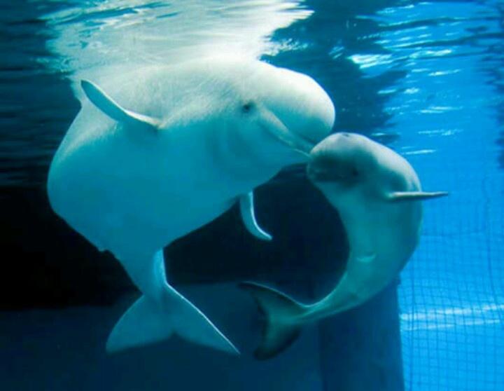 Precious baby and mama Beluga whale | Beluga whale | Pinterest