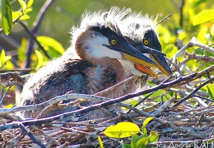 Baby blue heron bird - photo#5
