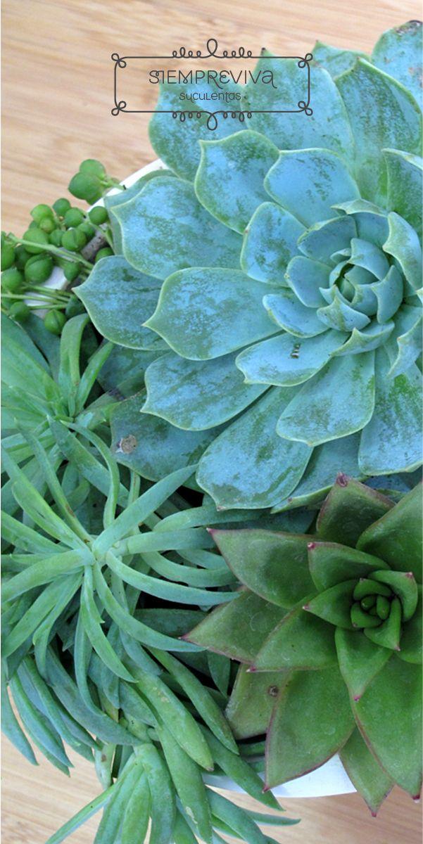 Planta suculenta colgante siempreviva en cat logo for Plantas suculentas colgantes