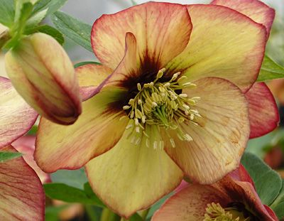 Helleborus 'Apricot Blush' this plant loves the shade and is also called Lenten Rose.