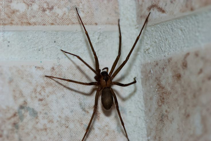 How To Identify Brown Recluse Spiders
