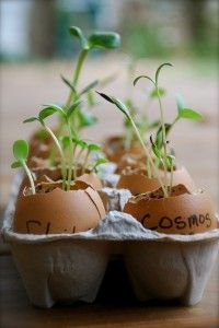 eggshells in lieu of seedling trays/pots.. love this idea!