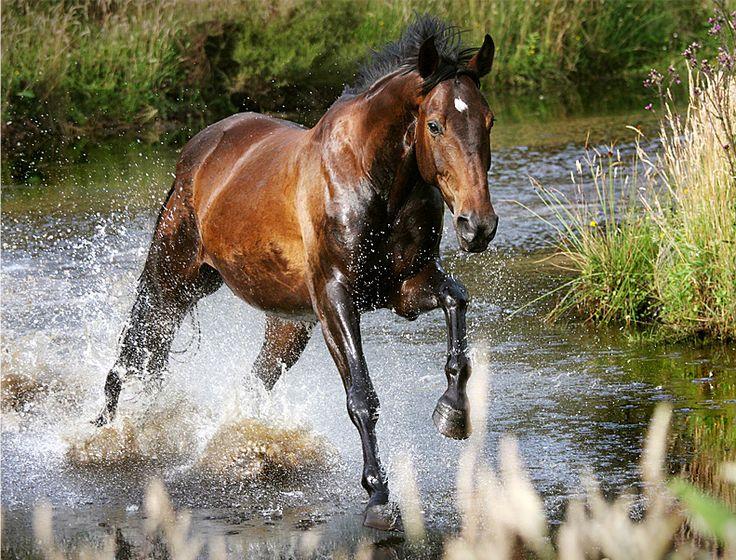 Dark Bay Horse  Dark