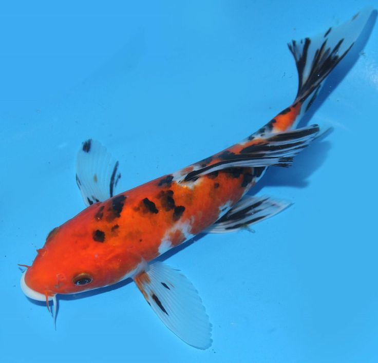Live Koi Fish 8 Sanke Butterfly Tricolor Long Fins Koibay