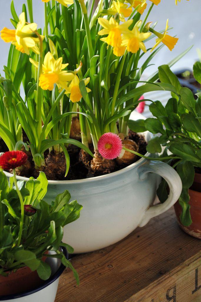 Jak pędzić rośliny cebulowe