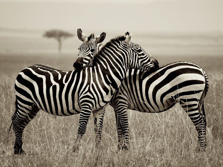 Zebra pair at the Masai Mara National Reserve, Kenya