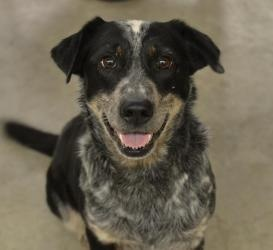 in Gainesville, FL. B.B. is a 5 year old Catahoula and Blue Heeler mix ...