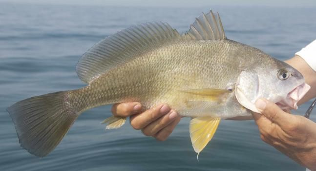 Freshwater drum or sheepshead it 39 s wild here pinterest for Sheepshead fish eating