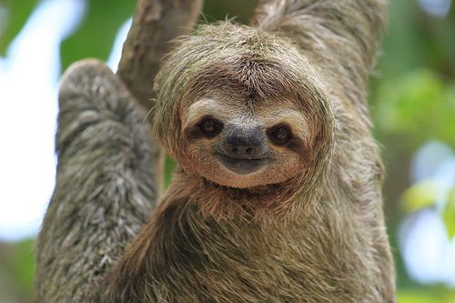 Sloth Smiling Sloth smiling.