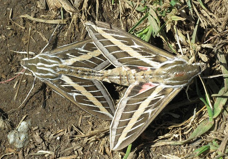 White lined sphinx moth - photo#16