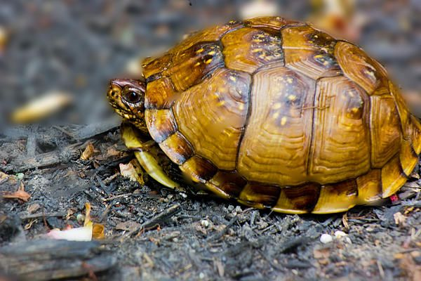 Box turtle decides to stick his head out for a photo.