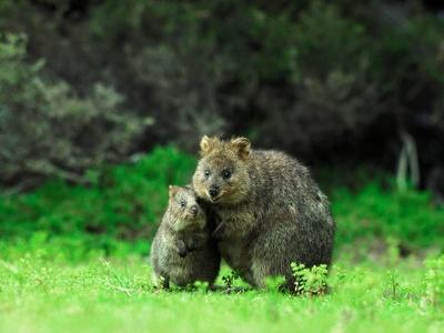Quokka and joey cute animals pinterest