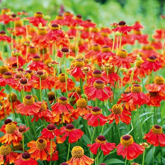 Helenium 'Moerheim Beauty' These grow in Arizona, who knew?