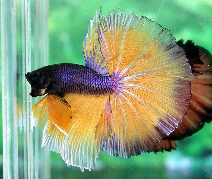 Blue and yellow betta fish - photo#6