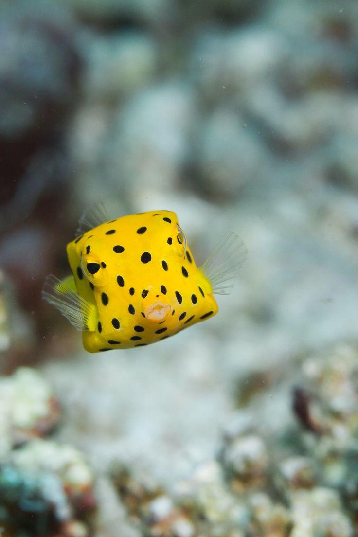 Boxfish At the bottom of the sea Pinterest
