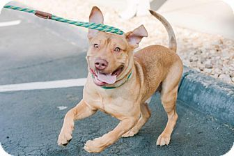 Marietta, GA - Pit Bull Terrier/Vizsla Mix. Meet Cracker Jack, a dog ...