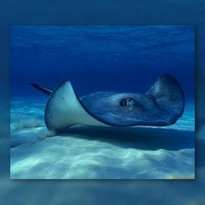 Panama bans fishing and commercialization of stingrays (VIDEO)