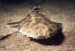 pacific angel shark  Found on t2.gstatic.com