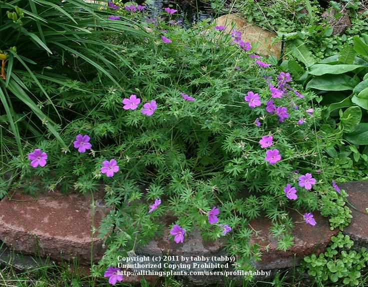Zone 5 Perennials | Front yard landscape | Pinterest